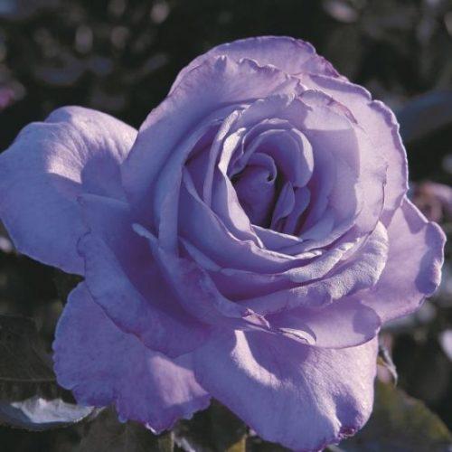 Blue Girl Hybrid Tea Rose Overview