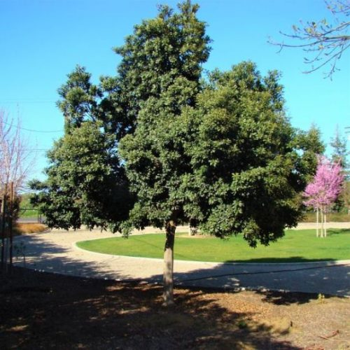 Japanese Blueberry Tree Overview