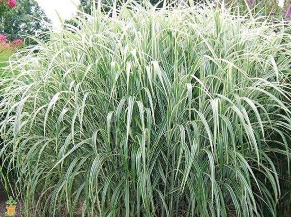 Cosmopolitan Miscanthus Maiden Grass