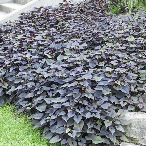 Sweet Potato Vine Ipomoea batatas Purple
