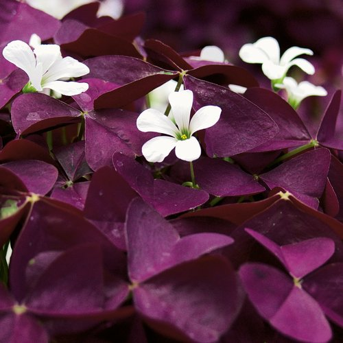 Proven Accents Charmed Wine - Shamrock - Oxalis triangularis