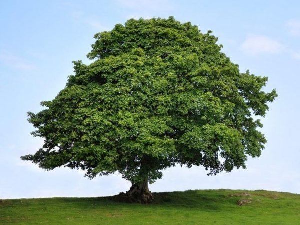 American Sycamore Tree