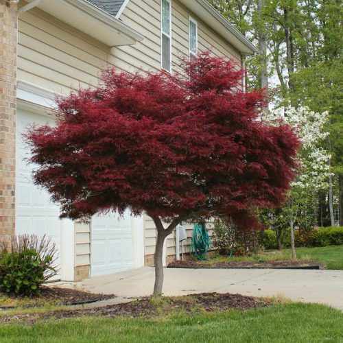 Bloodgood Japanese Maple Tree
