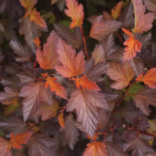 Coppertina - Ninebark - Physocarpus opulifolius