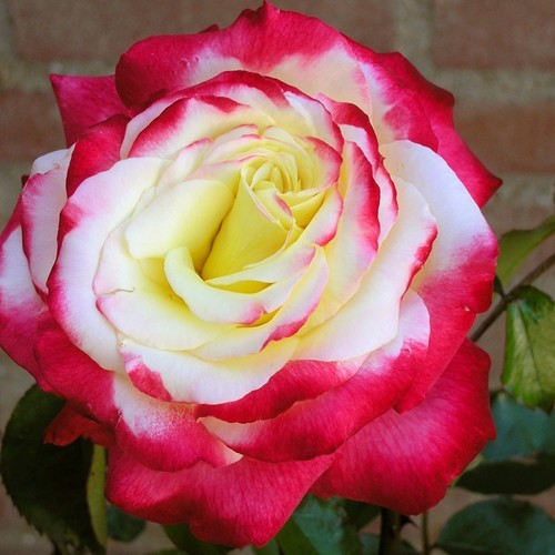 Tea Rose Hybrid Double Delight
