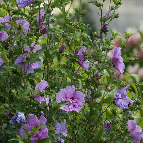 Lavender Chiffon - Hibiscus syriacus