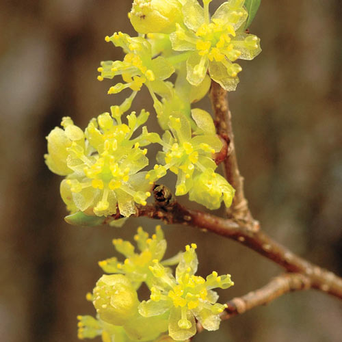 Spicebush Plant
