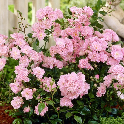 Fairy Roses pink