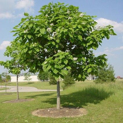 Northern Catalpa Overview