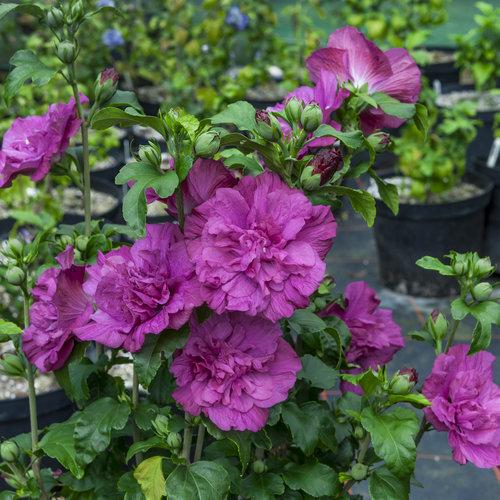 Magenta Chiffon - Rose of Sharon - Hibiscus syriacus