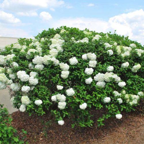 Snowball Viburnum Bush