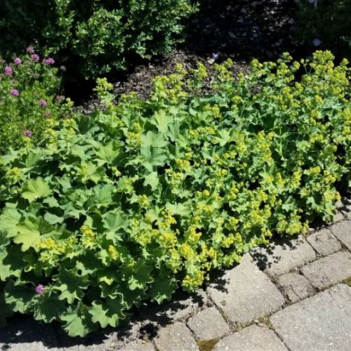 Lady's Mantle Overview