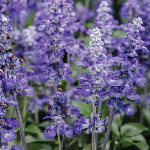 Unplugged So Blue - Mealycup Sage - Salvia farinacea