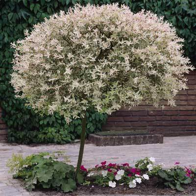 Tri Color Willow Tree
