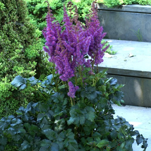 Astilbe chinensis Black and Blue Bare Root