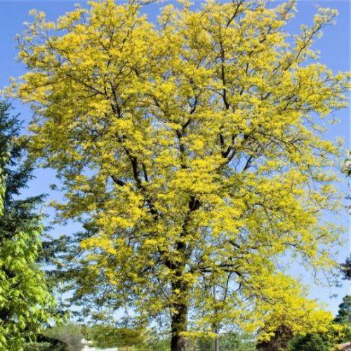 Sunburst Honeylocust Tree
