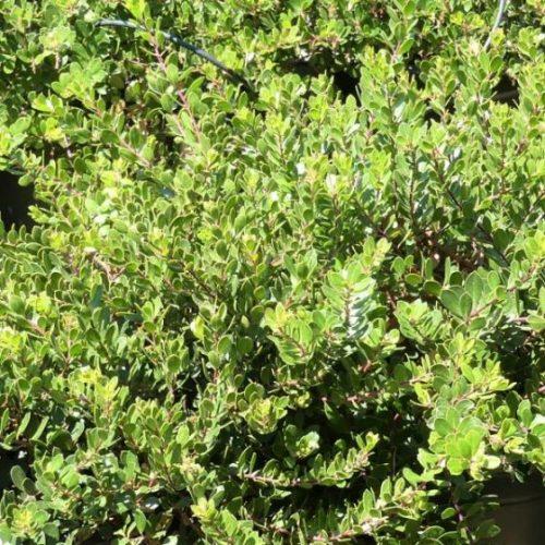 Emerald Carpet Manzanita Overview