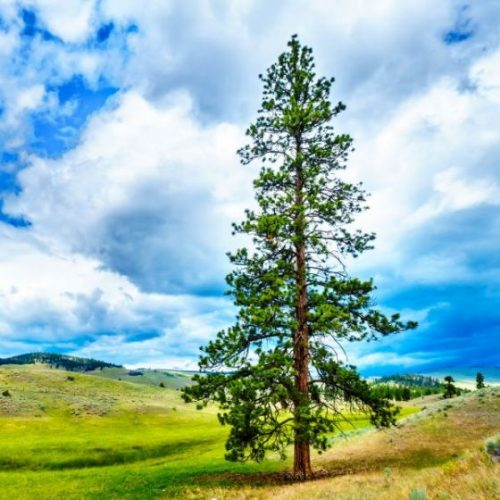 Lodgepole Pine Overview