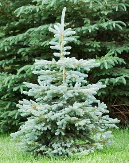 Blue Wonder Colorado spruce Tree