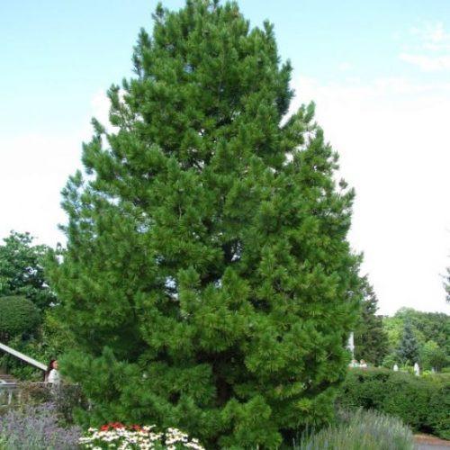 Swiss Stone Pine Overview