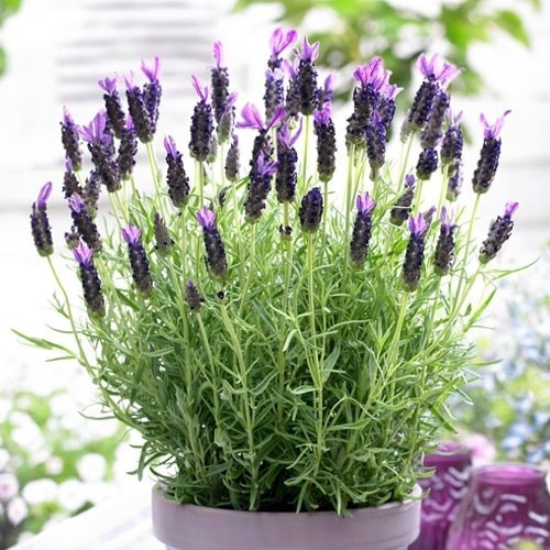 French lavender stoechas 12 cm