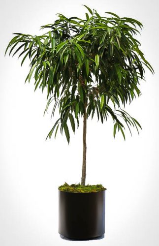Long Leaf Ficus Tree
