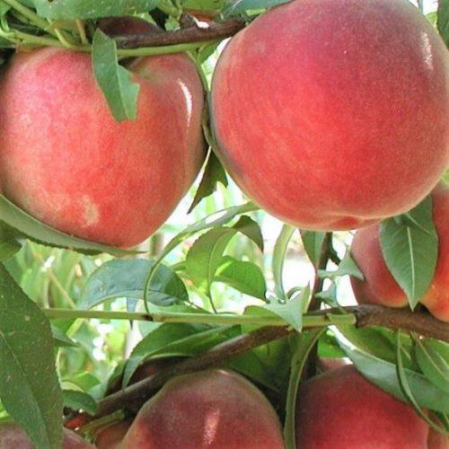 Blushing Pearl Peach Tree
