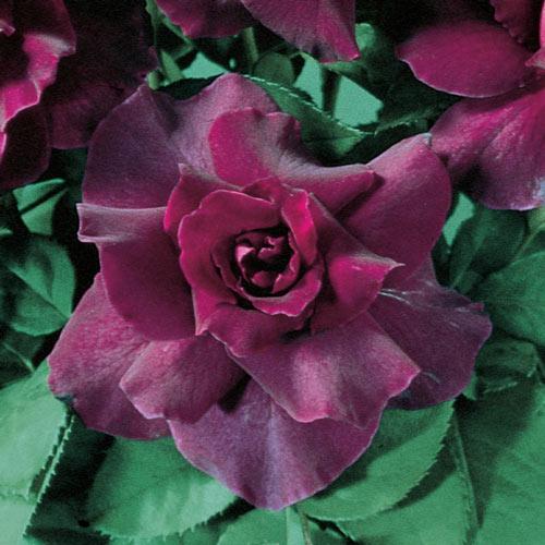 Intrigue Floribunda Rose
