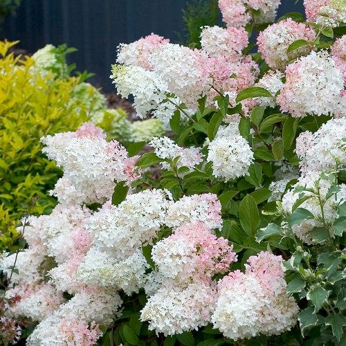 'Little Lamb' - Panicle Hydrangea - Hydrangea paniculata
