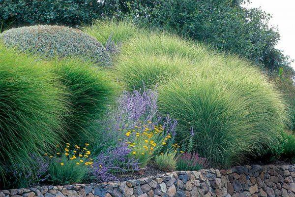 Morning Light Miscanthus Maiden Grass