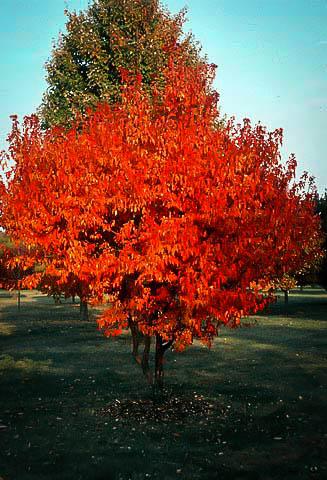 Flame Amur Maple Tree