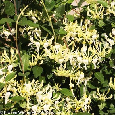Scentsation Honeysuckle Vine