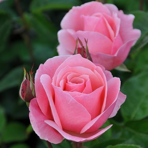 Queen Elizabeth Hybrid Tea Rose 3ltr Pot