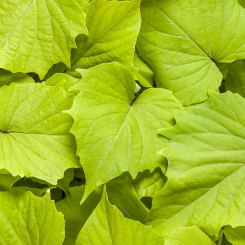 Proven Accents Sweet Caroline Bewitched Green with Envy - Sweet Potato Vine - Ipomoea batatas
