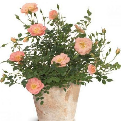 Oso Easy® Peachy Cream Rose potted