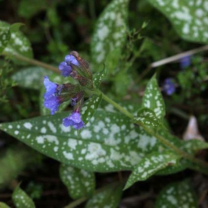 Cevennensis Lungwort Overview