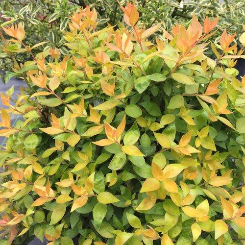 Funshine - Abelia grandiflora