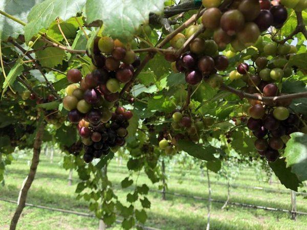 Muscadine Grape Vine
