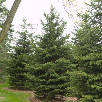 Black Hills Spruce Tree Landscape