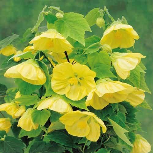 Abutilon golden Julia