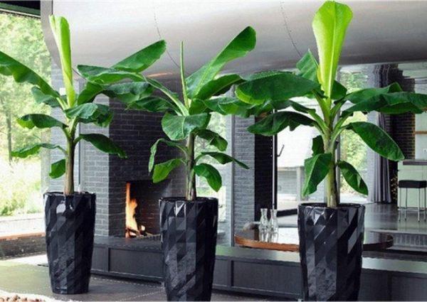 Basjoo Ornamental Banana Tree | Cold Hardy Banana Tree