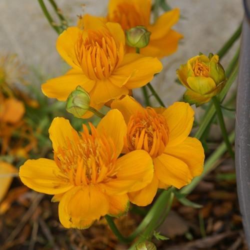 Trollius chinensis Golden Queen Bare Root