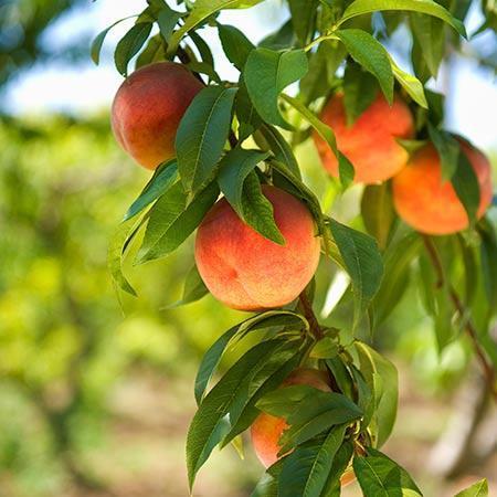 Harvester Peach Tree - USDA Organic