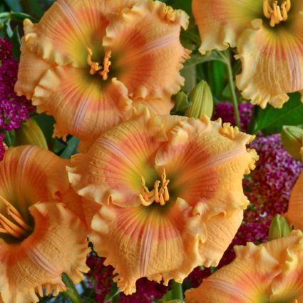 Daylily Orange Smoothie up close