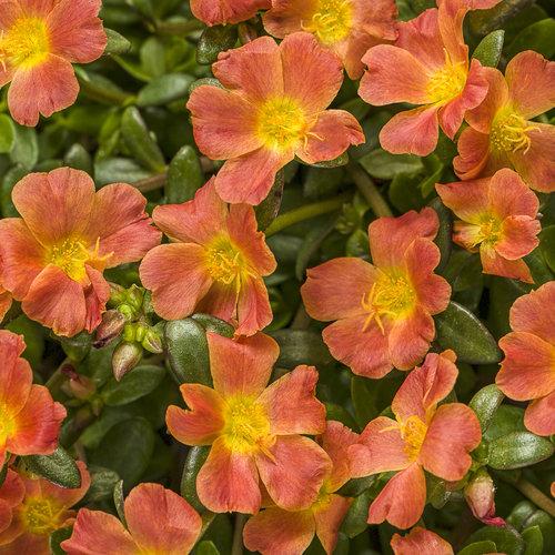 Mojave Tangerine - Purslane - Portulaca umbraticola