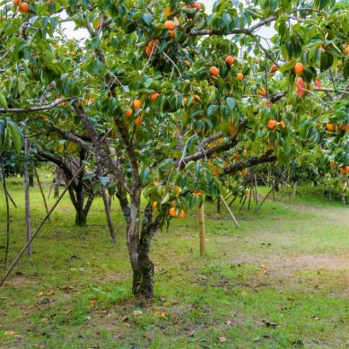 American Persimmon Tree Overview