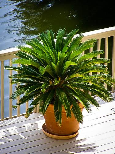 Sago Palm Tree