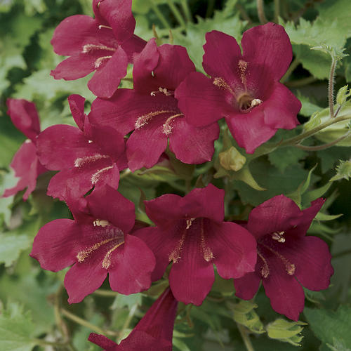 Lofos Wine Red - Lophospermum hybrid