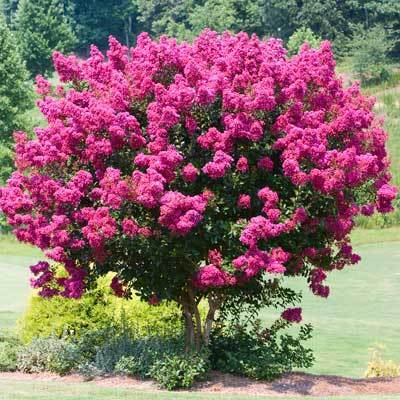 Pink Velour Crape Myrtle Tree