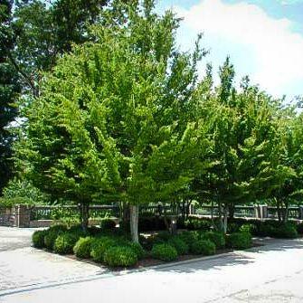 Row of American Hornbeam Trees